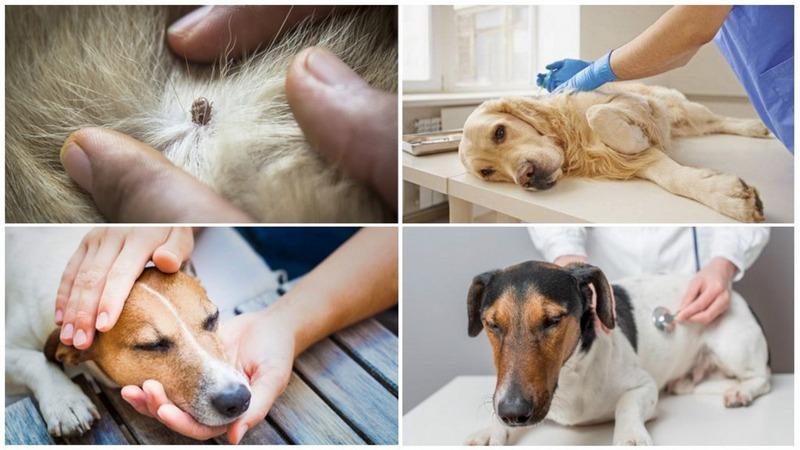 Особенности заражения и развития пироплазмоза у собак: способы заражения, формы развития, методы диагностики и лечения препаратами и домашними средствами