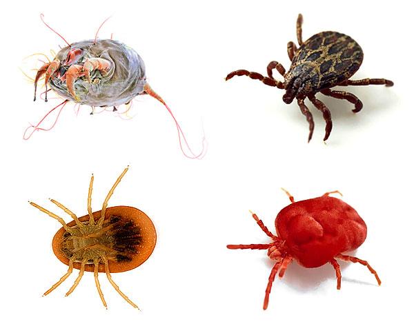 Подробный обзор как выглядят клещи разных видов: самые опасные, распространенные, их места обитания и инструкция что делать после укуса клеща