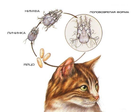 Инструкция как избавить от ушного клеща кошку: описание насекомых, как переносятся, признаки заражения, диагностика, эффективные препараты