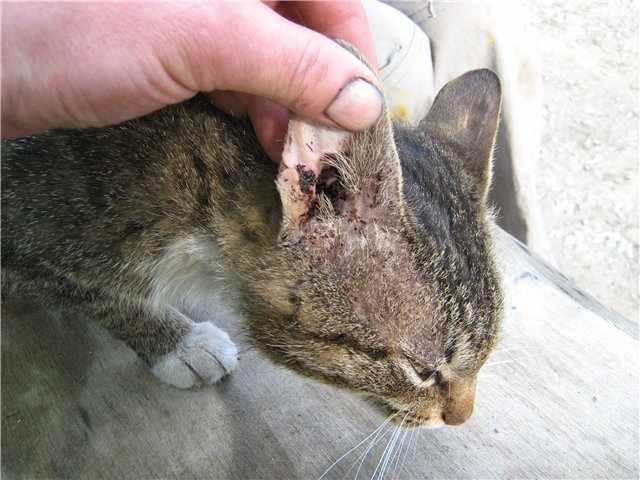 Откуда берётся и чем опасен чесоточный клещ у кошек: диагностика, лечение и профилактические меры