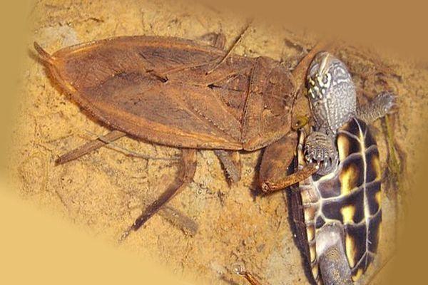 Где обитает и чем питается водяной клоп: обзор жизненного цикла и особенностей питания насекомого, какой вред и пользу приносит