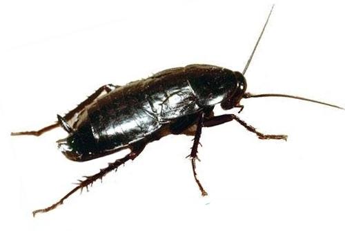 Обзор самых быстрых и эффективных способов борьбы с тараканами: инструкция как избавиться в домашних условиях, действенные препараты, народные средства