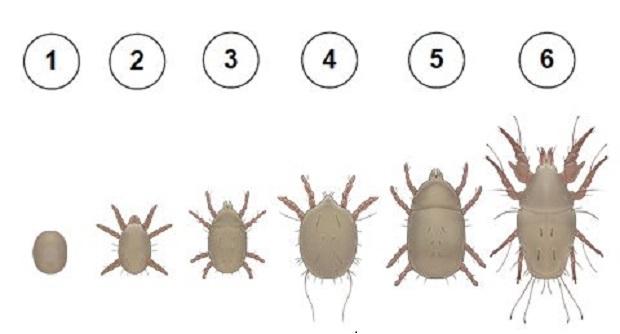 Откуда берутся мучные клещи: описание насекомого, причины и симптомы появления, методы борьбы, эффективные советы