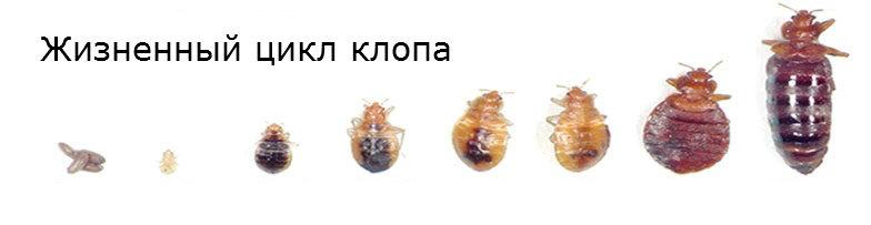 Подробный обзор разновидностей клопов: не опасные, паразиты, как выглядят и развиваются, чем отличаются, как появляются, методы борьбы