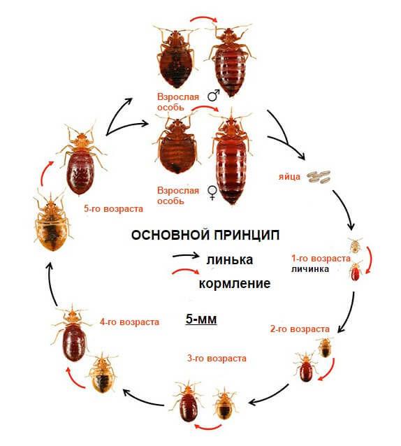 Подробный обзор как долго живут тараканы: сколько проживут без еды и воды, как влияет окружающая температура на срок жизни и размножение тараканов