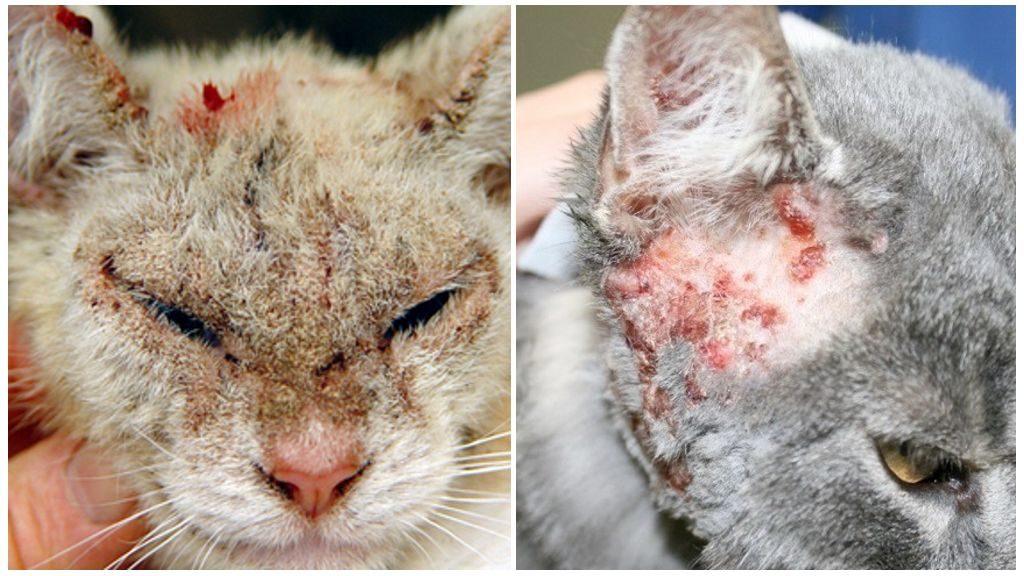 Что такое и как лечить демодекоз у кошек: какое насекомое вызывает болезнь, симптомы, диагностика, эффективные лекарства
