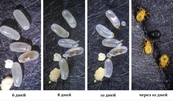 Продолжительность жизни постельных клопов: сколько живёт особь, яйца, нимфы, сколько клоп может жить без питания, особенности развития