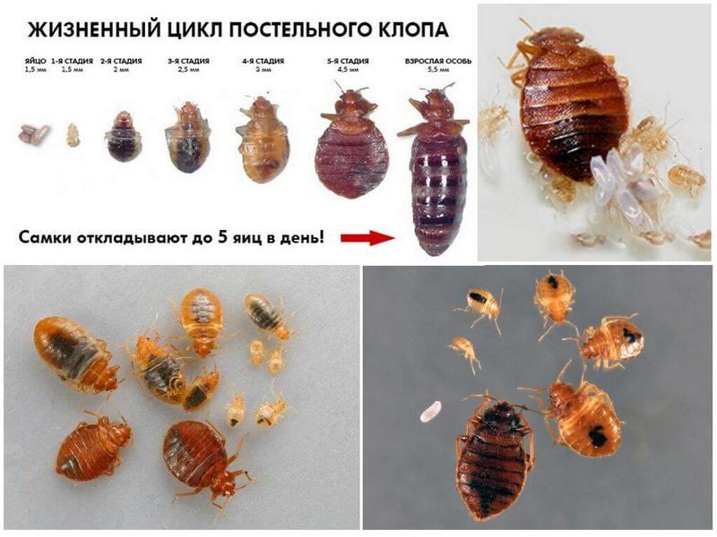 Руководство как распознать квартирных клопов и избавиться от паразитов: жизненный цикл насекомого, как появляются, эффективные средства, как вывести домашними средствами