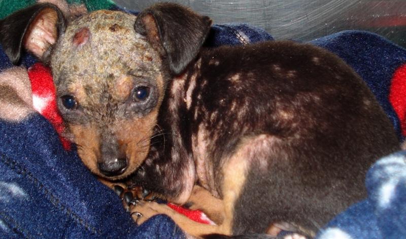 Как лечить демодекоз у собак: развитие заболевания, какое насекомое вызывает, симптомы, диагностика, эффективные препараты