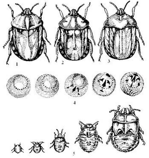 Обзор особенностей развития клопа вредная черепашка: откуда возникает, как развивается, какой вред наносит, способы борьбы