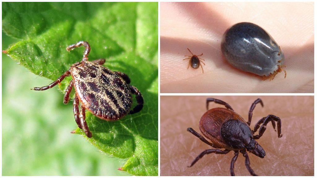 Руководство какие меры нужно принимать когда укусил клещ: удаление насекомого, профилактика заболевания, анализ клеща, лечение инфекции в домашних условиях