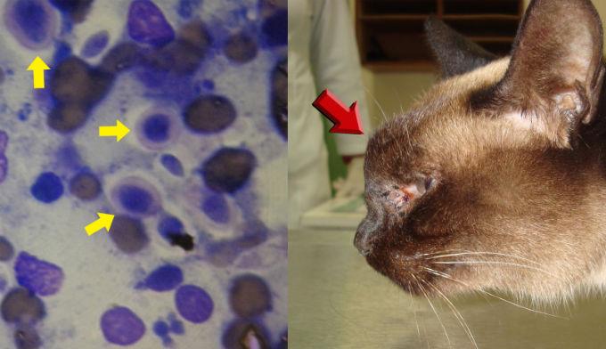 Что такое подкожный клещ у кошек: характеристики, жизненный цикл, как распространяется, как бороться, опасен ли для человека