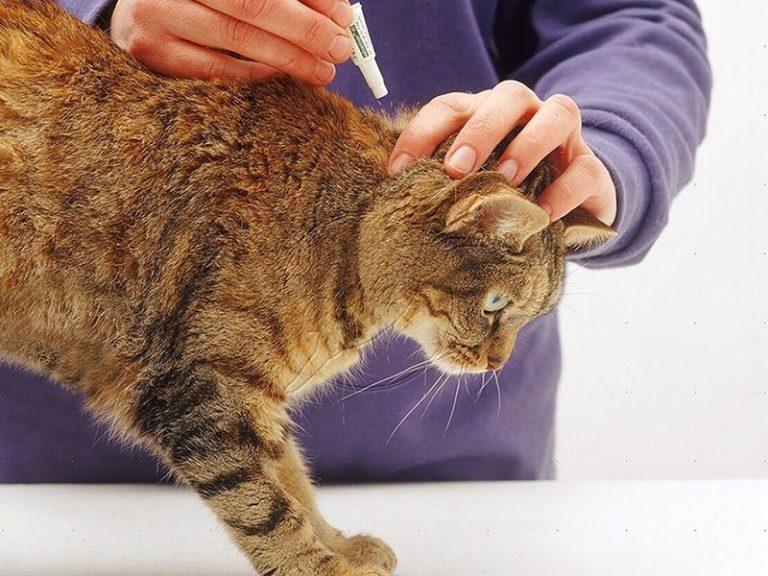 клещ подкожный у кошек