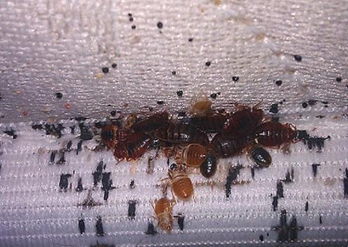 Советы как вовремя узнать о появлении клопов: где искать, как выглядят, чем обработать гнёзда, как бороться с насекомыми