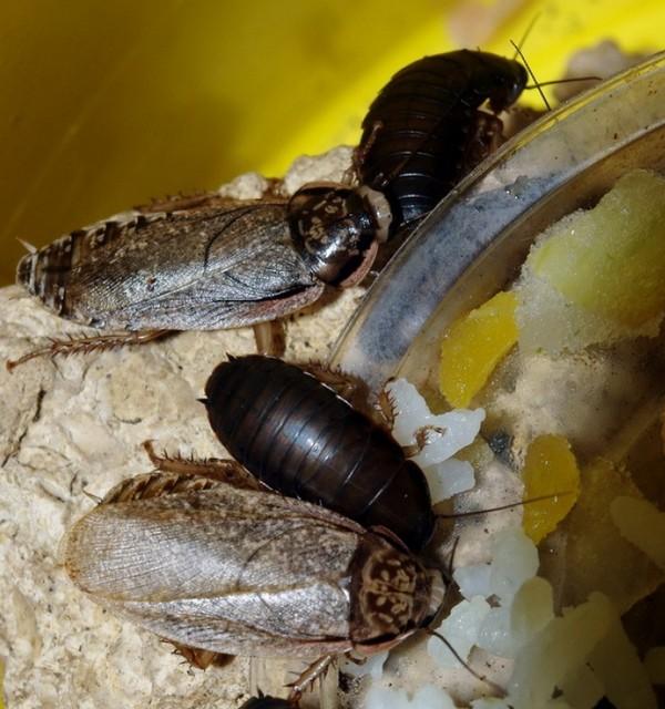 Обзор особенностей содержания и разведения мраморных тараканов: зачем нужны, как долго живут, чем кормить, как ухаживать
