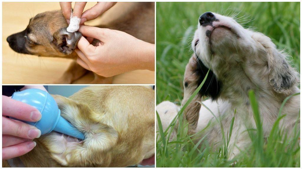 Лечение ушного клеща у собак: пути заражения, описание возбудителя, методы диагностики, эффективные препараты, профилактика