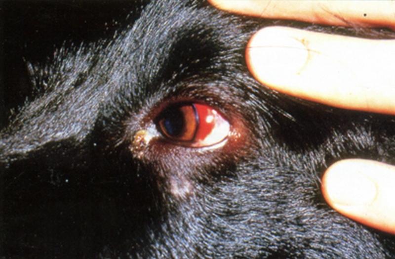 Как вылечить эрлихиоз у собаки: возбудитель, описание заболевания, диагностика, эффективные медикаменты