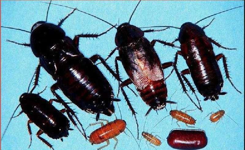 Откуда появляются чёрные тараканы в квартире: особенности развития и размножения, методы борьбы