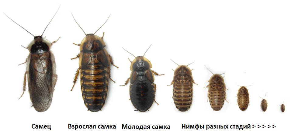 Подробный обзор жизненного цикла тараканов: как быстро размножаются, как выглядит самка, яйца, инструкция как остановить распространение тараканов