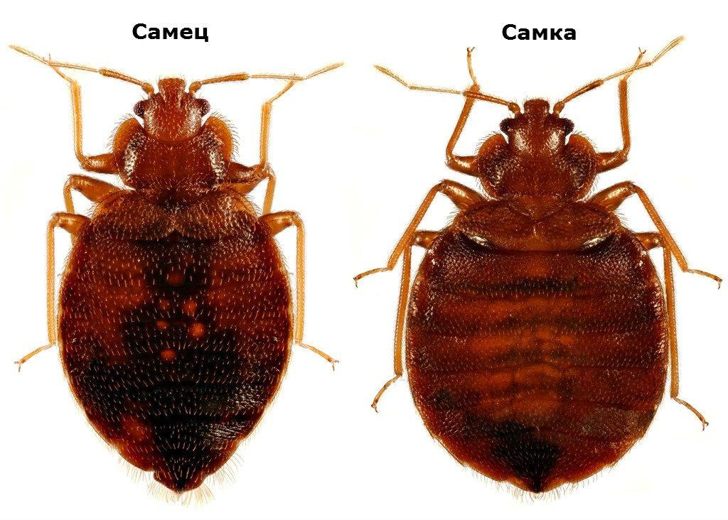 Особенности жизнедеятельности, развития и размножения клопов: какие условия нужны, как быстро происходит размножение, сколько живут, как избавиться от насекомых
