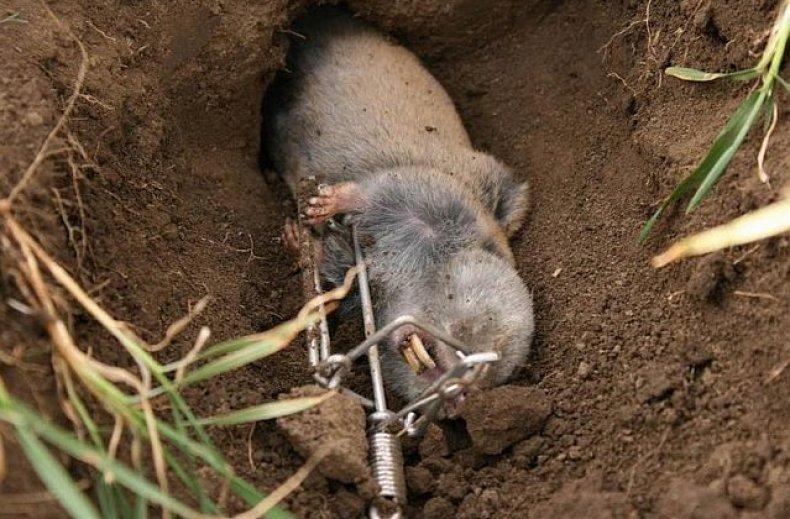 Где обитает и чем питается слепыш обыкновенный: обзор жизненного цикла и особенностей питания животного, какой вред приносит, как избавиться
