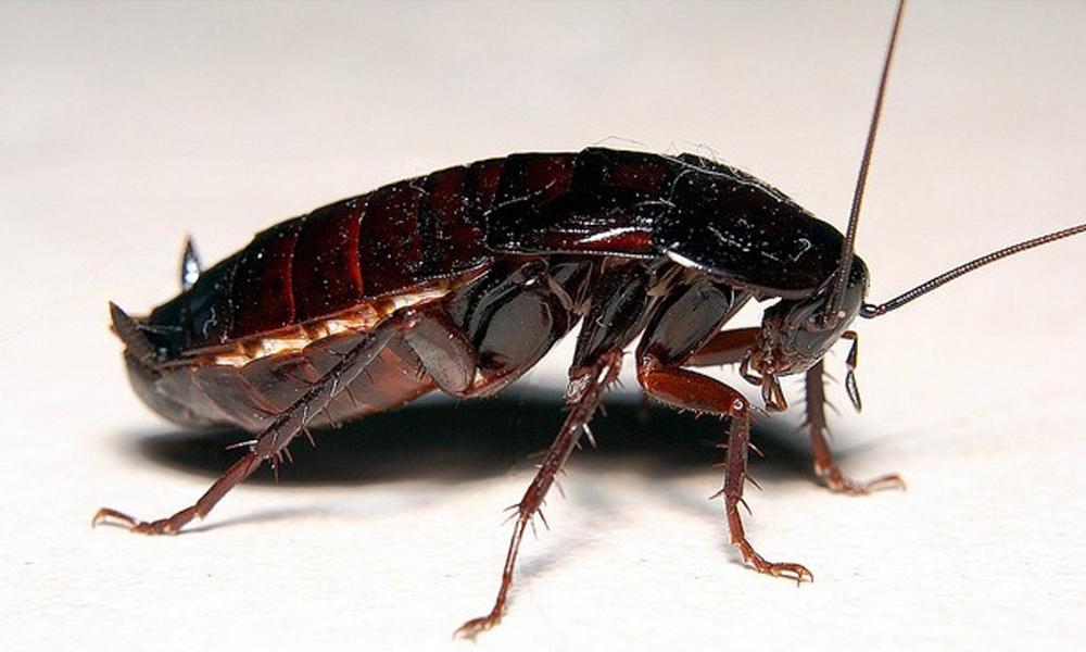 Откуда появляются большие тараканы в квартире: чем опасны, нужно ли их уничтожать