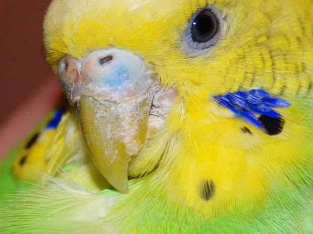 Пути заражения и способы лечения клещей у попугаев: виды, описание насекомых, симптомы, эффективные лекарства