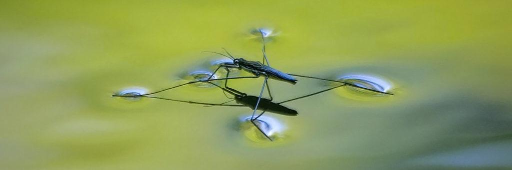 Что такое водомерка: характеристики, жизненный цикл, где обитает, особенности питания, как бороться, опасна ли для человека