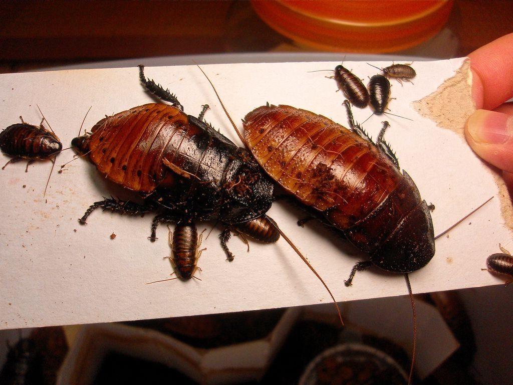 Особенности содержания и разведения мадагаскарских тараканов: зачем нужны, как долго живут, чем кормить, как ухаживать