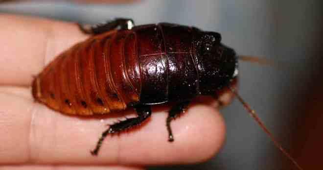 Обзор разновидностей самых больших тараканов в мире: как выглядят, размножаются, чем питаются, где живут