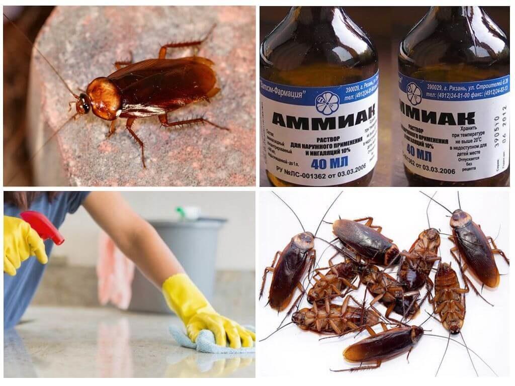 Что делать если в квартире появились рыжие тараканы прусаки: почему появились, как долго живут, особенности развития и размножения, чем опасны, действенные способы борьбы