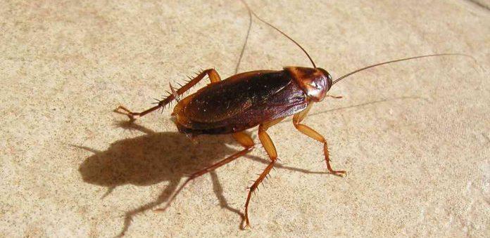 Могут ли летать домашние тараканы и обзор видов летающих тараканов: особенности строения и как выглядят