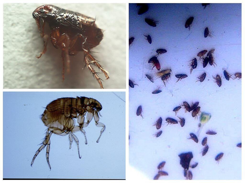 Обзор видов блох: фото как выглядят разновидности под микроскопом, особенности развития, чем опасны, откуда берутся и как избавиться