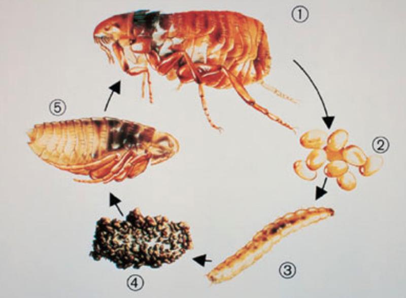 Подробный обзор как выглядят постельные блохи: места обитания, особенности развития и питания, в чём опасность, инструкция что делать после укуса