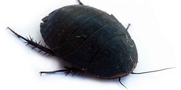 Подробный обзор как выглядят тараканы разных видов: самые опасные, распространенные, их места обитания и инструкция как уничтожить