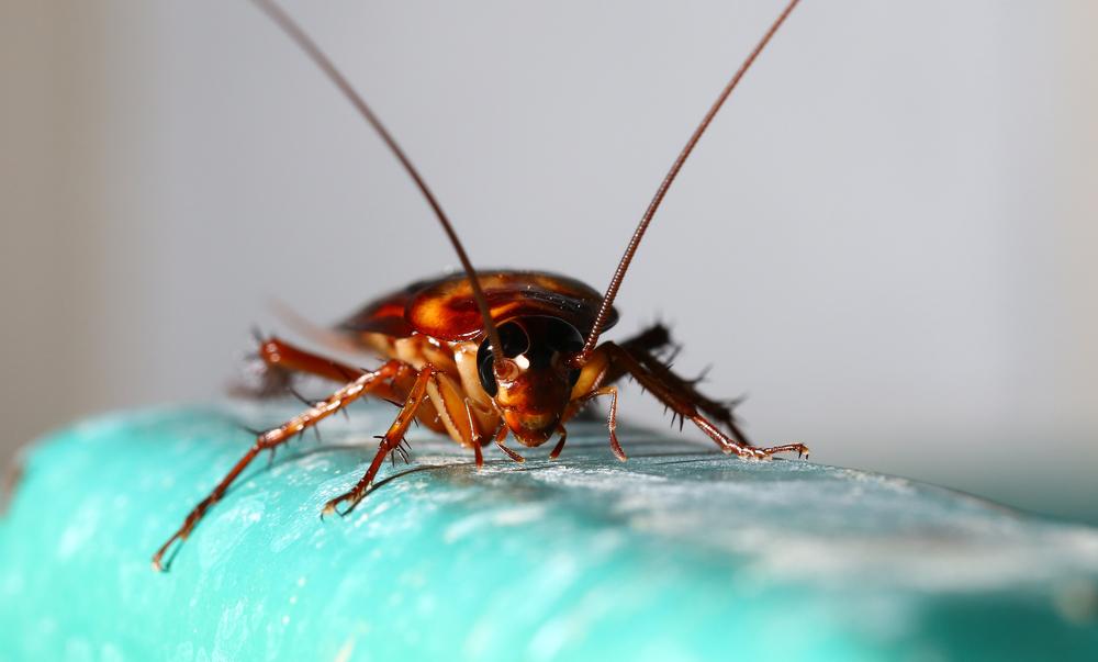 Какой вред наносят тараканы людям: переносчики болезней, правила защиты