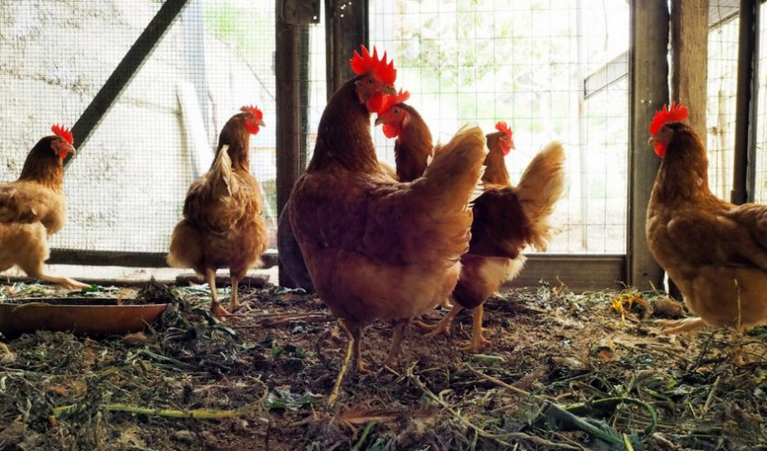 Как выглядят и откуда берутся куриные блохи: места обитания, особенности развития и питания, в чём опасность, инструкция как бороться