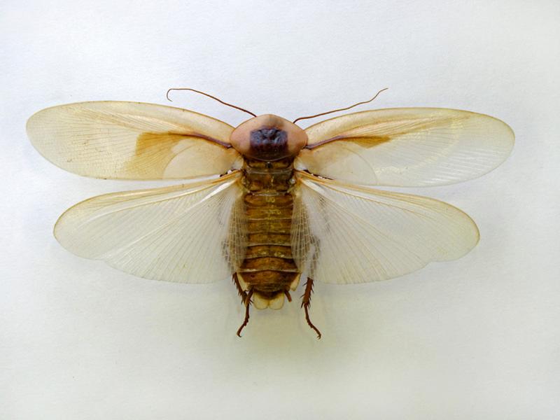 Летающие тараканы — какие тараканы могут летать, как выглядят на фото, виды, где живут, особенности развития