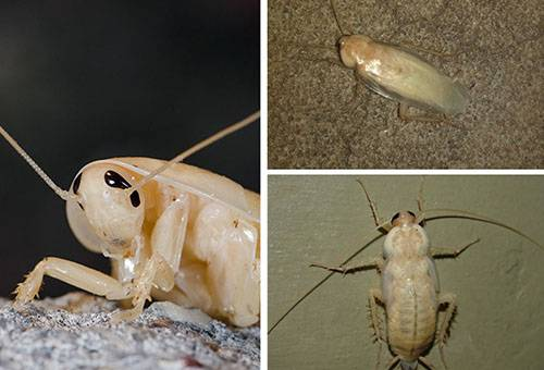 Откуда появляются белые тараканы в квартире: чем опасны, чем питаются, нужно ли их уничтожать