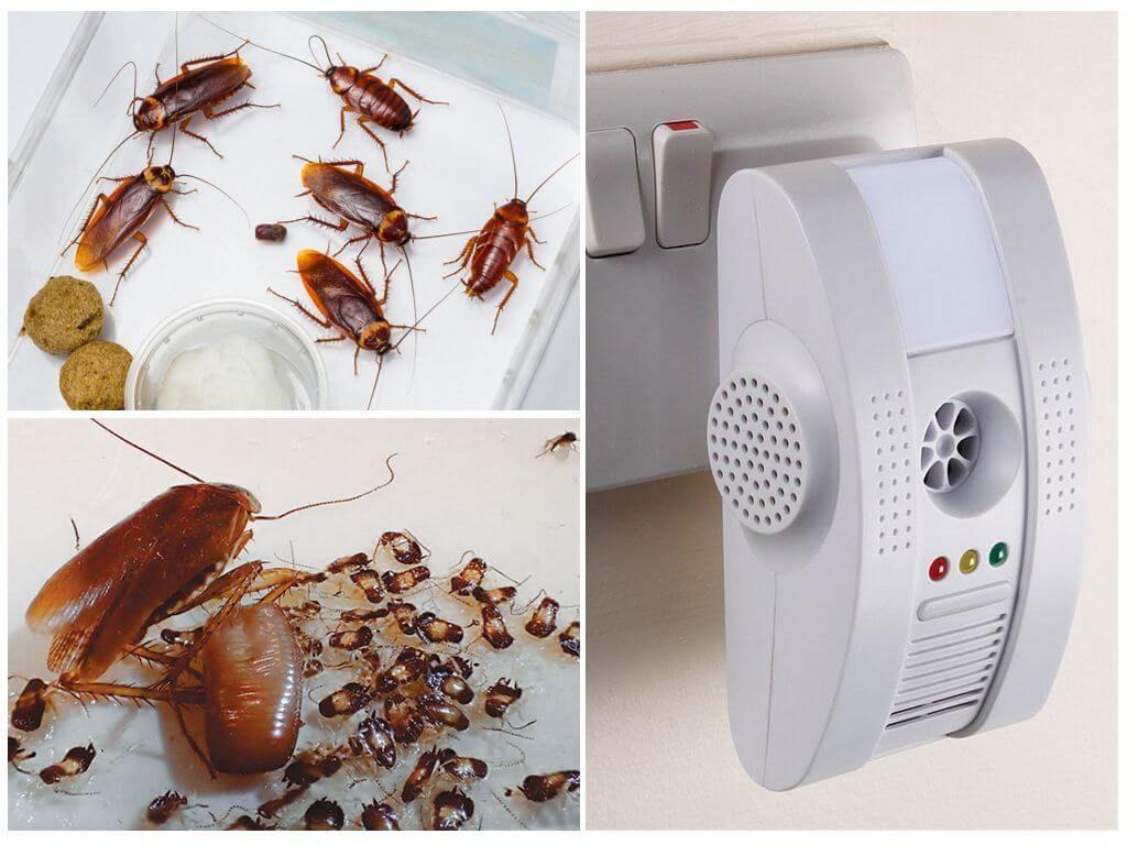 Обзор особенностей канализационных тараканов: физиология, чем питаются, причины появления, методы уничтожения