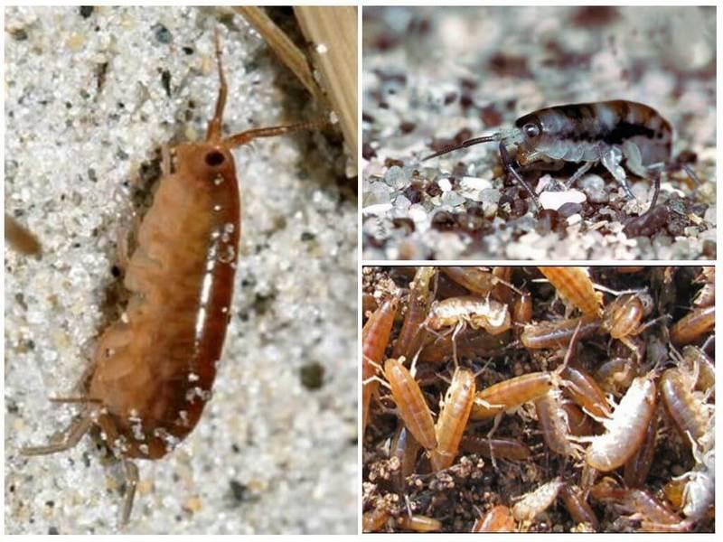 Подробный обзор как выглядят песчаные блохи: места обитания, особенности развития и питания, в чём опасность, инструкция что делать после укуса