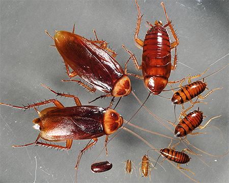 Особенности разведения туркменских тараканов: какие условия нужны, жизненный цикл, правила питания, размножение