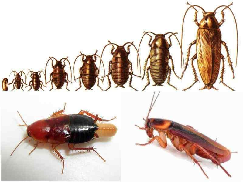 Как и когда кусаются тараканы: как выглядят укусы, в чём вред, как предотвратить