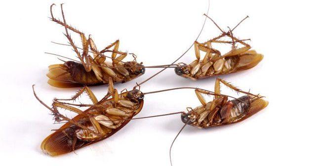 Обзор как выглядят маленькие квартирные тараканы: чем вредны, их места обитания, причины появления и инструкция как уничтожить