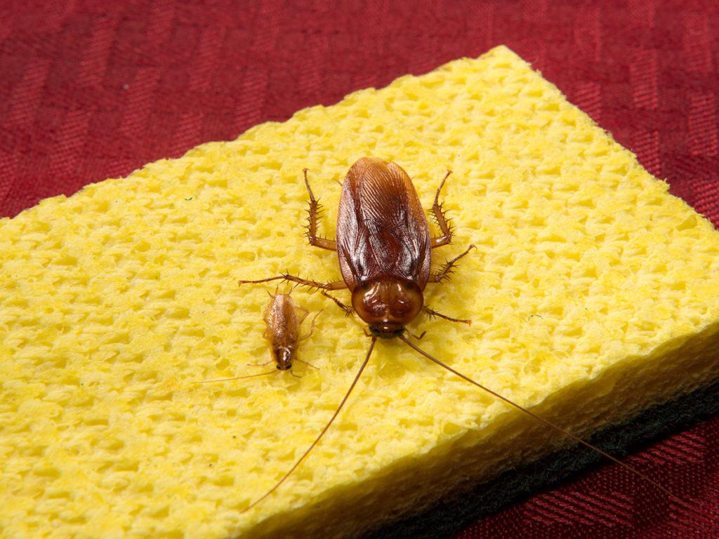 Обзор как выглядят американские или африканские тараканы: чем вредны, их места обитания, причины появления и инструкция как уничтожить